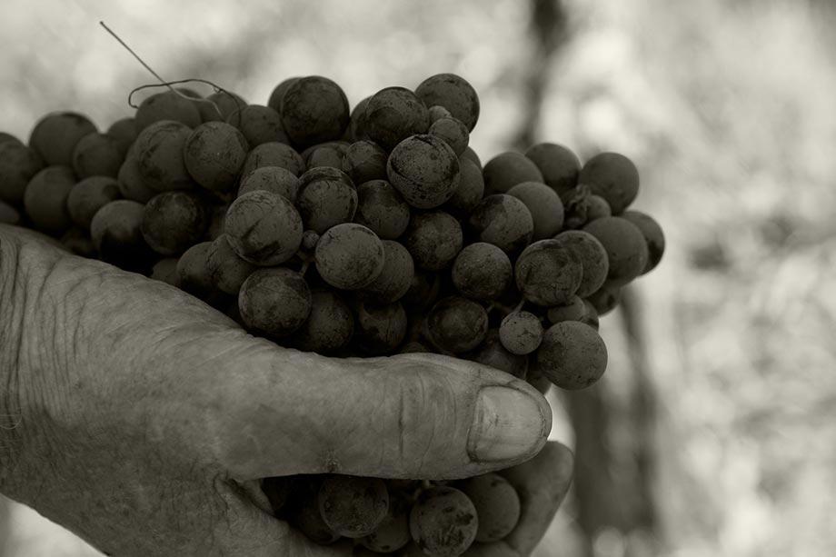 Come nasce il vino: dalla vigna alla bottiglia Masut da Rive
